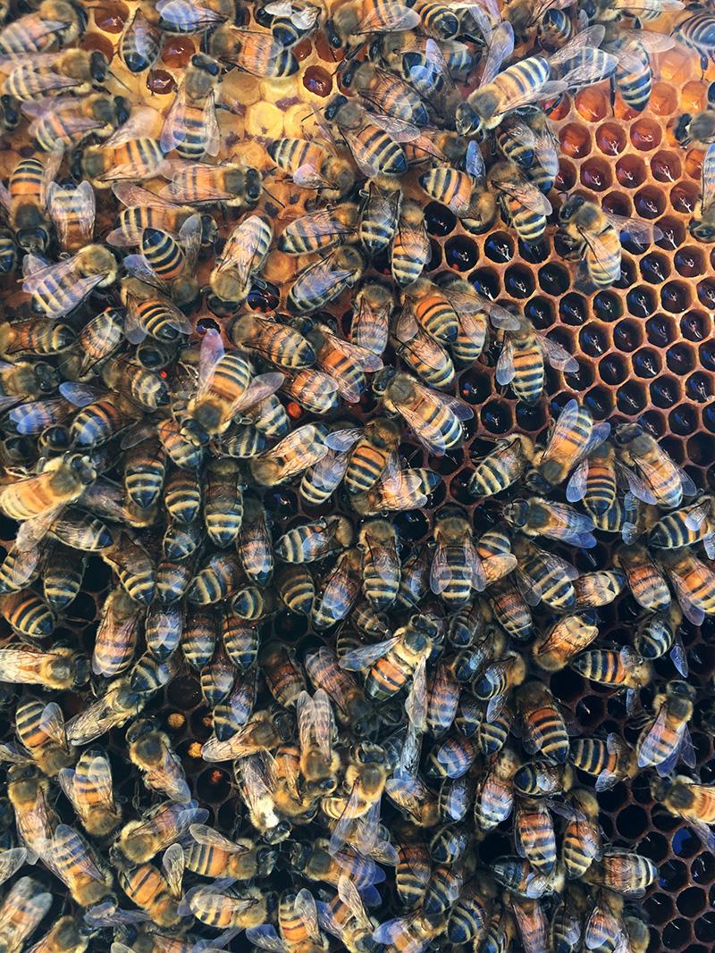 abeilles sur cadre
